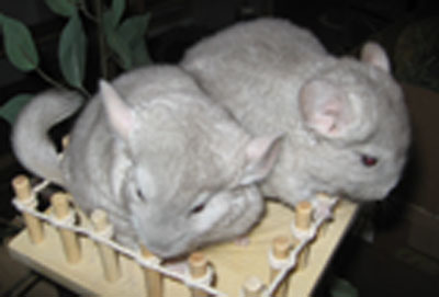 chinchilla kits