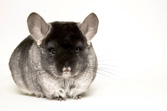 black chinchilla