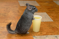 curious chinchilla