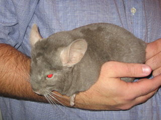tan chinchilla
